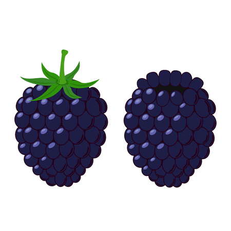 dewberry: Illustration of berries on white background