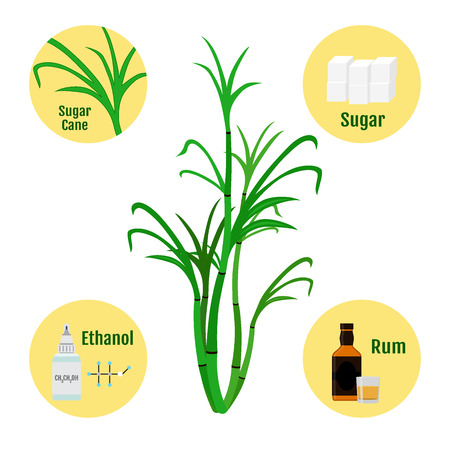 sugar cane: Sugar cane and products of cane.Glass and bottle of rum, sugar, ethanol. Illustration in flat vector style.