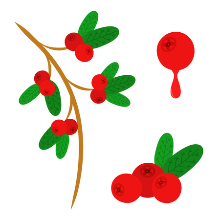 Cowberry, lingonberry in flat vector style. Sweet red forest berry. Cranberry. Illustration