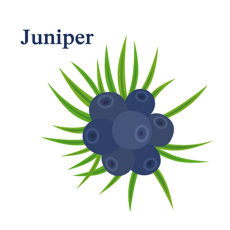 Juniper berries. Fresh herb for alcohol dry gin. Flat vector style.