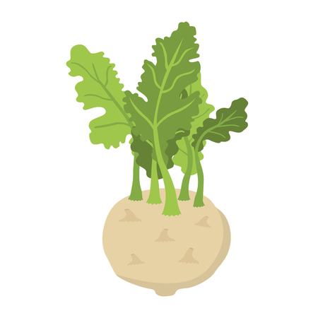 Green kohlrabi, type of cabbage. Fresh organic vegetable. Vector illustration. Made in cartoon flat style