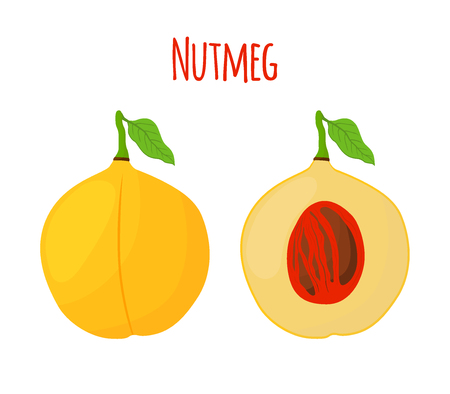 Nutmeg fruit, organic nut, healthy vegetarian food. Natural spices. Made in cartoon flat style. Vector illustration
