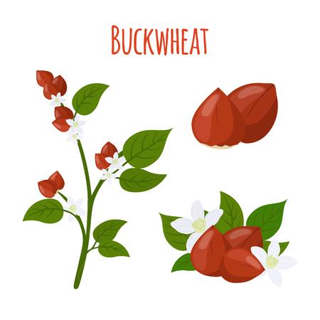 Buckwheat plant, cereal grains, green vegetarian food.Made in cartoon flat style. Vector illustration