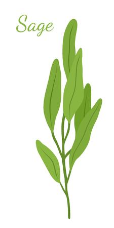 Sage leaves, salvia organic herb, herbal ingredient. Made in cartoon flat style. Vector illustration.
