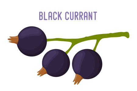 Vector organic berry - black currant, tasty fruit. Ripe vitamin nutrition, garden product