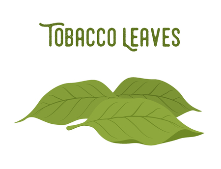 Vector organic tobacco leaves, green plant for smoking. Unhealthy habit.