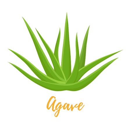 Vector traditional Mexican plant - agave, botanical plant. Cartoon flat style. Raw materials for alcohol or tequila production. Ilustração