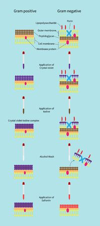 This differential staining procedure separates most bacteria into two groups on the basis of cell wall composition, Bacteria gram positive and gram negative