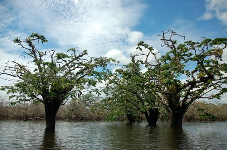 Floated trees.Cuyabeno Nature Reserve. Stock Photo