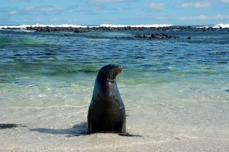 Sea Lion on Loberia beach,Galapagos
