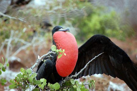 frigate: Frigate Bird.Galapagos Islands.