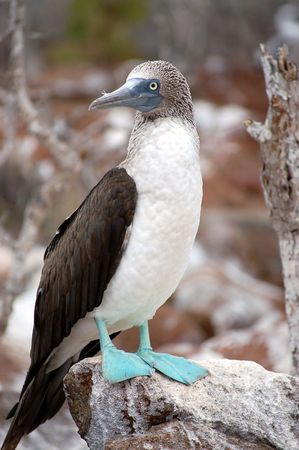 Blue-footed Booby.Seymour Island,Galapagos.