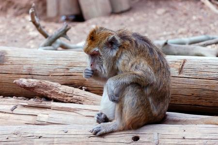 macaque: Macaque monkey. Stock Photo