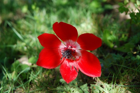 anemone flower: Anemone rosso unico fiore.