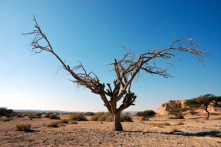 Dry dead tree in Negev Desert, Israel. Stock Photo
