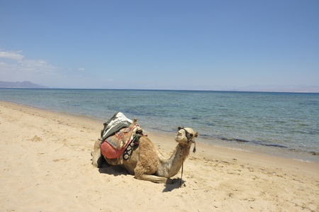 Camel at Sinai beach of Red Sea, Egypt.