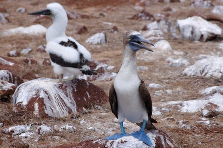 booby: Blue-footed booby mother bird and chick, Galapagos. Stock Photo