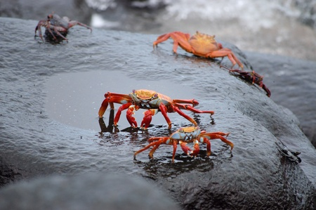 Red lightfoot crabs on black stone, Galapagos.