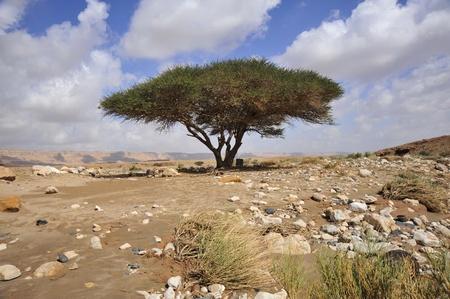 Alone acacia tree in winter, Negev desert. Stock Photo