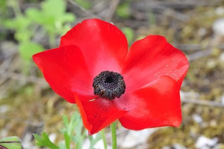 anemone flower: Red Anemone fiore.