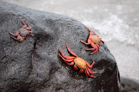 Red Lightfoot crabs on black rock, Galapagos. photo