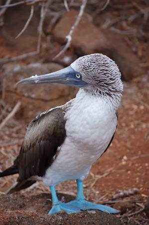 Blue-footed Booby bird, Galapagos