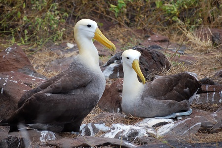 waved: Waved Albatross couple, Galapagos.