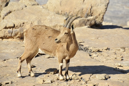 fearless: Fearless Ibex in Negev desert  Stock Photo