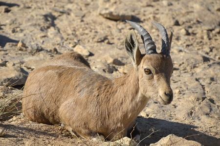 wild goat: Cabra salvaje en el desierto de Negev