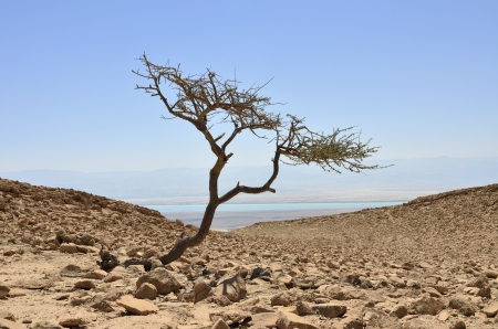 Alone acacia tree in Judea desert, Israel photo