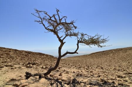 judea: Alone acacia tree in Judea desert, Israel Stock Photo