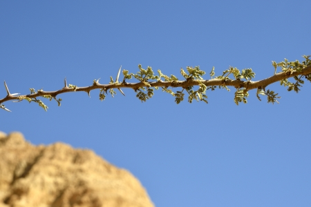 prickles: Acacia branch with fresh buds and prickles at spring in desert.
