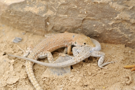 sexes: Battle of sexes of desert lizards stellion in Negev, Israel. Stock Photo