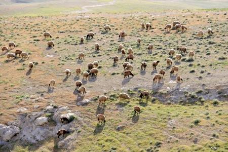 judea: Sheep herd pasturing in Judea desert near Jerusalem in Israel