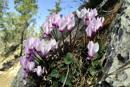 Spring blooming of cyclamen flowers in the forest  photo