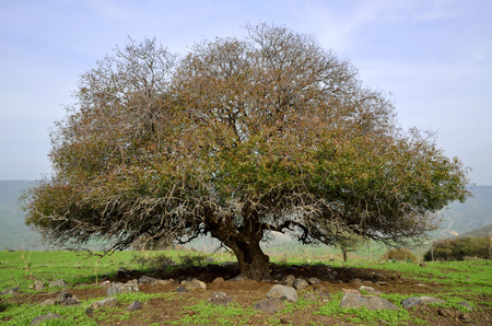 the golan heights: Old branched Oak tree in autumn, Golan Heights in Israel. Stock Photo