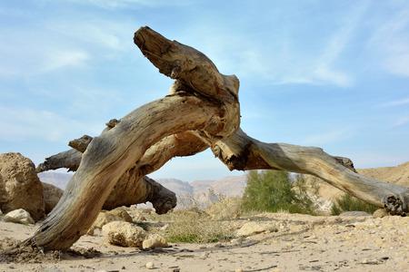 negev: Dry wood trunk in Makhtesh Katan - Small Crater in Negev desert, Israel. Stock Photo
