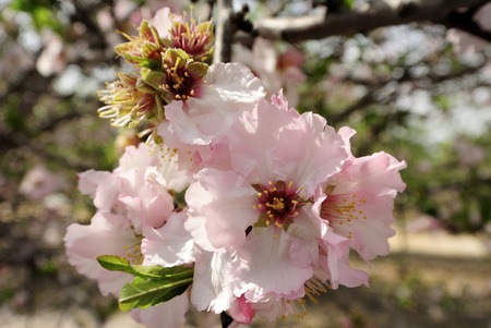 almond bud: Spring flowering of almond trees in orchard. Stock Photo