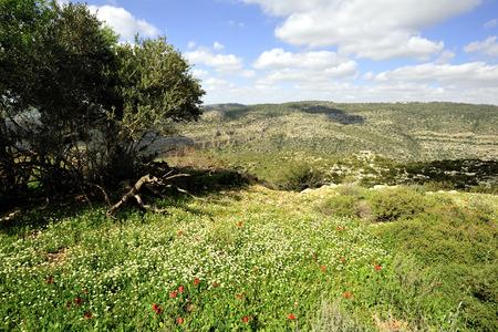 Beautiful green glade with blooming flowers, wadi Sorek in Jerusalem mountains.