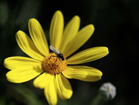 pollinate: Dance Fly pollinate yellow daisy flower. Stock Photo