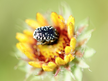 spotted flower: Black spotted bug pollinate fresh small yellow flower. Stock Photo