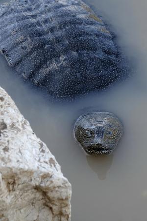 Freshwater Trionix or black softshell turtle in Alexander stream, Israel.
