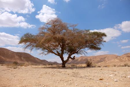 Alone acacia tree on dry wadi in Negev desert, Israel.