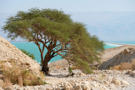 Green acacia tree in dry wadi near Dead Sea, Israel.