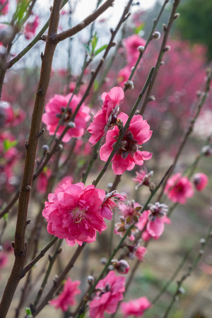 Plum blossoms on tree branches with sun glares on flower petals. Colorful bokeh background. Selective focus.