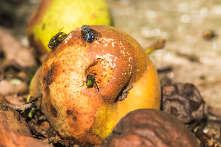 Green and blue flies sitting on a rotten pear and feeding sweet fruit juice. Summer day. Selective focus. Stock Photo