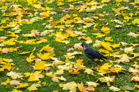 Western jackdaw (Coloeus Monedula) standing on green lawn among yellow autumn maple leaves. Single wild bird looking for feed. City fauna. Colorful foliage on grass background. Copy space.