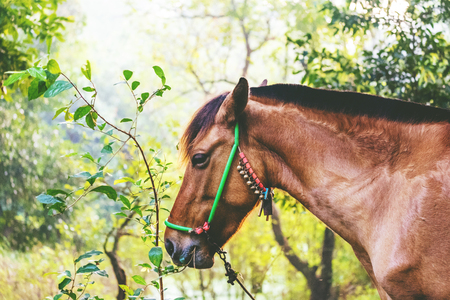 One young chestnut horse in bridle grazing on a forest lawn. Domestic animal feeding green grass and bush leaves. A bridle decorated with metal jingle bells. Early morning natural light. Toned image.