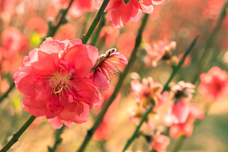 Beautiful Asian plum blossoms on flowering tree at springtime. Blurred blooming plants on background. Symbol of Chinese New Year. 스톡 콘텐츠