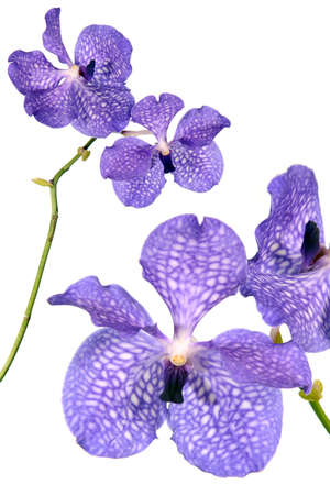 白の背景に分離された青の蘭の花